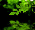 Green leaves reflection Stock Photos