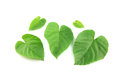 Green Leaves Shaped Like Heart.