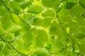 Green Leaves In Spring