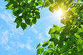 Green leaves and sun Royalty Free Stock Photo