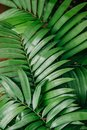 Green leaves of tropical plants, texture Royalty Free Stock Photo