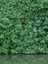 Green leaves wall and real reflect in the weter Royalty Free Stock Photo