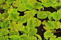Green leaves of water lily in water