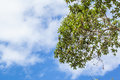 Green leaves on white and blue cloud-sky background Royalty Free Stock Photo