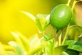 Green lemon growing in sunny day Stock Photography