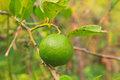 Green lemon on the lemon tree in organic farm thailand Stock Photography