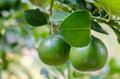 Green lemons on the lemon tree in organic farm in rural of thailand Royalty Free Stock Images