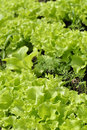 Green Lettuce on Bed Royalty Free Stock Photography