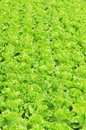Green lettuce field Stock Photos