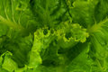 Green lettuce fresh leaves close up texture Royalty Free Stock Photography