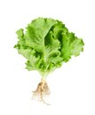 Green lettuce fresh with root isolated on white background Royalty Free Stock Photo