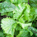 Green lettuce leaves and chard in garden close up Royalty Free Stock Photos