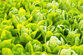 Green lettuce plant growing in the vegetable garden Royalty Free Stock Photo