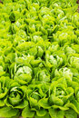 Green lettuce plant growing in the vegetable garden. Royalty Free Stock Photo