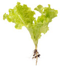 Green lettuce with roots isolated on white background plant a Royalty Free Stock Photo