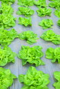 Green lettuce salad plantation grown in the mulching plastic film Stock Photography