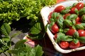 Green lettuce, small tomatoes and basil in a plate Royalty Free Stock Photo