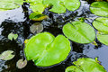 Green lilly pad on pond Royalty Free Stock Photo