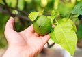Green lime. Royalty Free Stock Photo