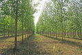 Green lined tree farming Royalty Free Stock Photos