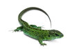 Green lizard big isolated on white background Royalty Free Stock Photography