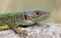 Green lizard close-up from a protected habitat Stock Photo