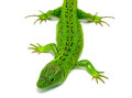 Green lizard isolated white background Royalty Free Stock Images