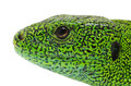 Green lizard isolated white background Stock Images