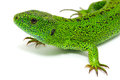 Green lizard isolated white background Stock Photo