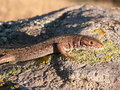 Green lizard juvenile of eastern european lacerta viridis on a cliff Stock Photo