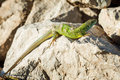 Green lizard - Lacerta viridis sheds its skin Royalty Free Stock Photo