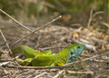 Green lizard male lizaard lacerta viridis during reproductive phase showing the blue coloration on the throat Royalty Free Stock Image