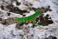 Green Lizard, Mexico Stock Images