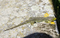 Green lizard over rock having a sunbath on a Royalty Free Stock Photo