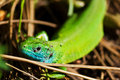 Green lizard on a rock Royalty Free Stock Photos