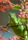 Green lizard staring at the camera over a branch Royalty Free Stock Images