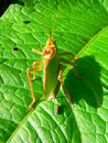 Green locust Royalty Free Stock Images