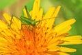 Green locust on flower Stock Photo