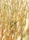 Green locusts Royalty Free Stock Photos