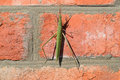 Green locusts orthoptera insect ordinary on a brick wall Stock Photos