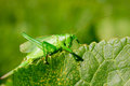 Green locusts summer on a leaf sits a large as also color leaf Stock Images