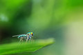 Green long legged fly on leaf Royalty Free Stock Photos