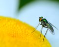 Green long legged fly perched on a flower Royalty Free Stock Images