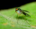 Green long legged fly perched on a plant leaf Royalty Free Stock Images