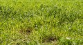 Green long lush bright spring grass background Royalty Free Stock Images