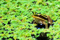 Green Lotus Frog Royalty Free Stock Photo