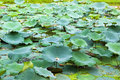 Green Lotus leaf in pond Stock Photos