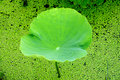 Green lotus leaves, the harmony between man and na Royalty Free Stock Photo