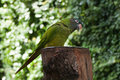 Green lovebird perched on a feeder Stock Images