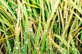 Green lush grass with dew drops at dawn Royalty Free Stock Photo